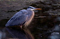 Winter Heron 02