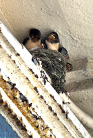 Baby Swallows 05