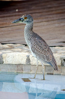 Young Yellow Crowned Night Heron 03