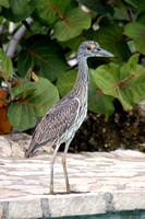 Young Yellow Crowned Night Heron 06