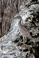 Young Yellow Crowned Night Heron 07