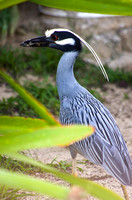 Yellow Crowned Night Heron 06