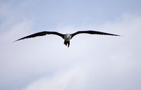 Magnificent Frigatebird 01