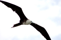 Magnificent Frigatebird 05