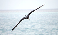 Magnificent Frigatebird 06