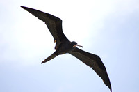 Magnificent Frigatebird 07