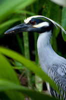 Yellow Crowned Night Heron 09