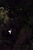 'Ā  Red-footed Booby flying over nesting area