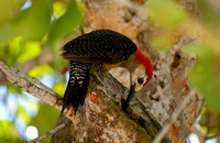 Jamaican Woodpecker 03