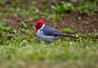 Red-Crested Cardinal 2