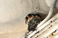 Baby Swallows 02