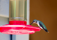 Anna's Hummingbird at the Feeder 01