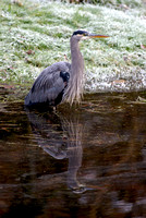 Winter Heron 01