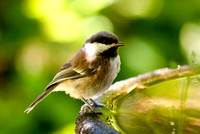 Chestnut-backed Chickadee 01