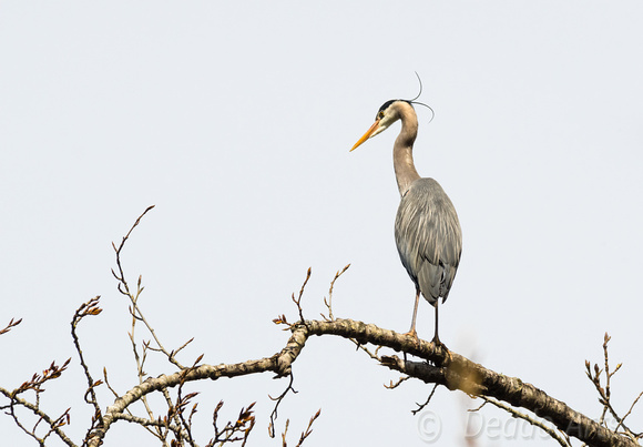 Heron at the Rookery