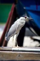 Black-crowned Night Heron 02