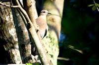 White Winged Dove 01