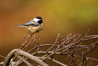 Black-capped chickadee 3