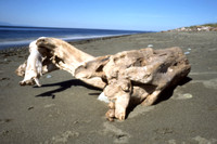 Ebey's Landing Driftwood