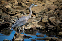 Oceanside Heron